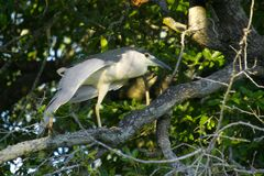 Black-crowned night heron (Nycticorax nycticorax) Stock Photography