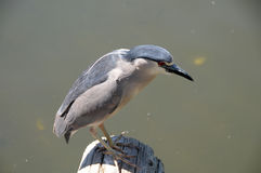 Black-crowned Night-Heron Nycticorax nycticorax. Looking for fish in pond Royalty Free Stock Images