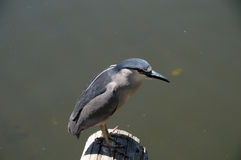 Black-crowned Night-Heron Nycticorax nycticorax. Looking for fish in pond Royalty Free Stock Photography