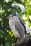Black-crowned night heron (Nycticorax nycticorax) Stock Photos