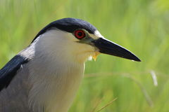 Black-crowned Night Heron (Nycticorax nycticorax) Royalty Free Stock Image
