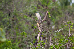 Black-crowned Night Heron Nycticorax nycticorax Stock Photo