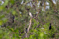 Black-crowned Night Heron Nycticorax nycticorax Stock Photography