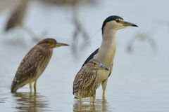 Black-crowned Night Heron (Nycticorax nycticorax) Stock Image