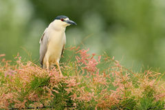 Black-crowned Night Heron (Nycticorax nycticorax). Patagonia, Argentina, South America. Black-crowned Night Heron (Nycticorax nycticorax) perched among pink Stock Photography
