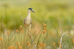 Black-crowned Night Heron (Nycticorax nycticorax). Patagonia, Argentina, South America. Stock Image