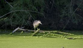 Black Crowned Night Heron, Sweetwater Wetlands Tucson Arizona Royalty Free Stock Photography