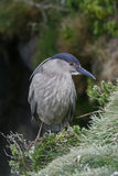 Black-crowned night-heron, Nycticorax nycticorax Stock Photography