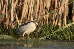 Black-crowned night-heron, Nycticorax nycticorax Royalty Free Stock Photos