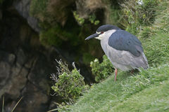 Black-crowned night-heron, Nycticorax nycticorax Stock Photos