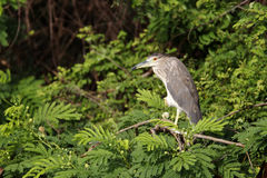 Black-crowned night-heron, Nycticorax nycticorax Royalty Free Stock Photo