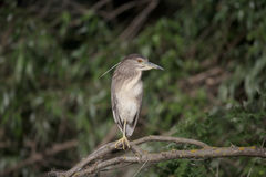 Black-crowned night-heron, Nycticorax nycticorax Stock Image