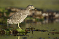 Black-crowned night-heron, Nycticorax nycticorax Stock Images