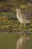 Black-crowned night-heron, Nycticorax nycticorax Royalty Free Stock Images
