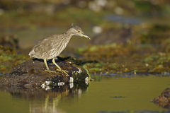 Black-crowned night-heron, Nycticorax nycticorax Royalty Free Stock Photography