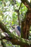 Black-crowned night heron Nycticorax nycticorax Royalty Free Stock Photos