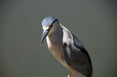 Black-crowned Night-Heron Nycticorax nycticorax. Watching intently for fish in water Royalty Free Stock Photo