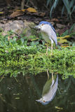 Black-crowned Night Heron (Nycticorax nycticorax) Stock Images