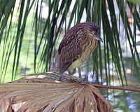 Black-crowned night heron in palms Stock Photo