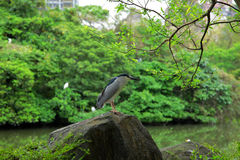 Black crowned night heron in the park Stock Image