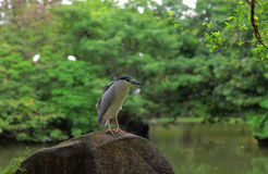Black crowned night heron in the park Stock Photos