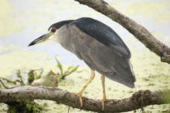 Black-Crowned Night Heron Perched Above the Water Royalty Free Stock Images