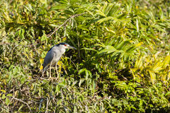 Black Crowned Night Heron Perched on Bush Stock Photo