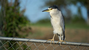 Black-crowned Night Heron Perched on Fence Royalty Free Stock Photos