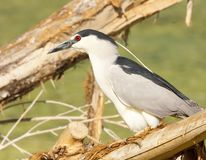 Black-crowned night heron perched on log royalty free stock photo