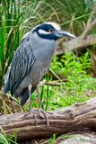Black Crowned Night Heron Hunting royalty free stock photography