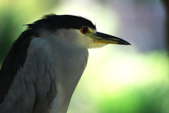 Black-crowned night heron. Photo taken on the San Diego , a night heron in a daze royalty free stock images