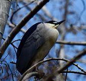 A Black-Crowned Night Heron. This is a picture of a Black-crowned Night Heron perched in a tree in Lincoln Park Zoo located in Chicago, Illinois in Cook County Stock Photo