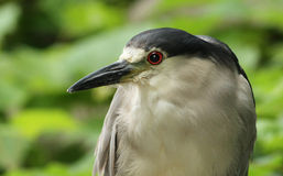 Black-crowned night-heron portrait Royalty Free Stock Photography