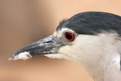 Black-crowned Night Heron. Portrait Royalty Free Stock Image