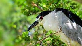 Black-crowned night heron portrait Stock Photography