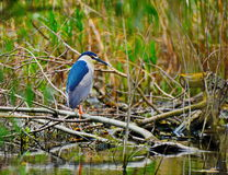 Black-crowned Night Heron. Resting on a tree brunch in Danube Delta Royalty Free Stock Photos