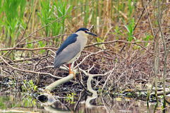 Black-crowned Night Heron in natural reserve of the Danube Delta Royalty Free Stock Photo