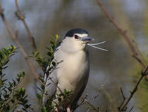 Black crowned night heron stock photo