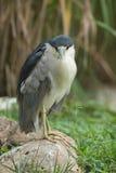 Black crowned night heron on rock Stock Photo