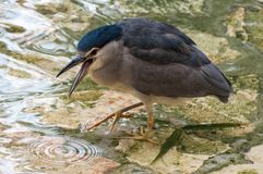 Black-crowned night heron sitting near pool Royalty Free Stock Photography