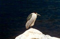 Black-Crowned Night-Heron Stock Photo