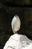 Black-Crowned Night-Heron Royalty Free Stock Image