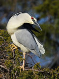 Black-crowned Night Heron sitting in a Tree Royalty Free Stock Photography