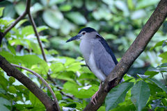 Black-crowned night heron Royalty Free Stock Image