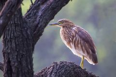Black-crowned night heron sitting on a tree in Keoladeo Ghana Na Stock Images