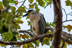 The Black-Crowned Night Heron Sleeping on the Tree at Malibu Bea Royalty Free Stock Image
