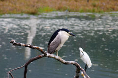 The Black-Crowned Night Heron and the Snowy Egret at Malibu Beac Royalty Free Stock Photo