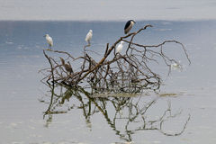 The Black-Crowned Night Heron and the Snowy Egret at Malibu Beac Stock Image