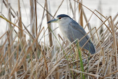 Black-crowned Night Heron Stalking its Prey - Florida. Black-crowned Night Heron stalking its prey in a cattail marsh - Melbourne, Florida Stock Photography