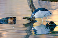 Wading Night Heron. A Black Crowned Night Heron stalking prey in a pond by the Palace of Fine Arts in San Francisco Stock Photography